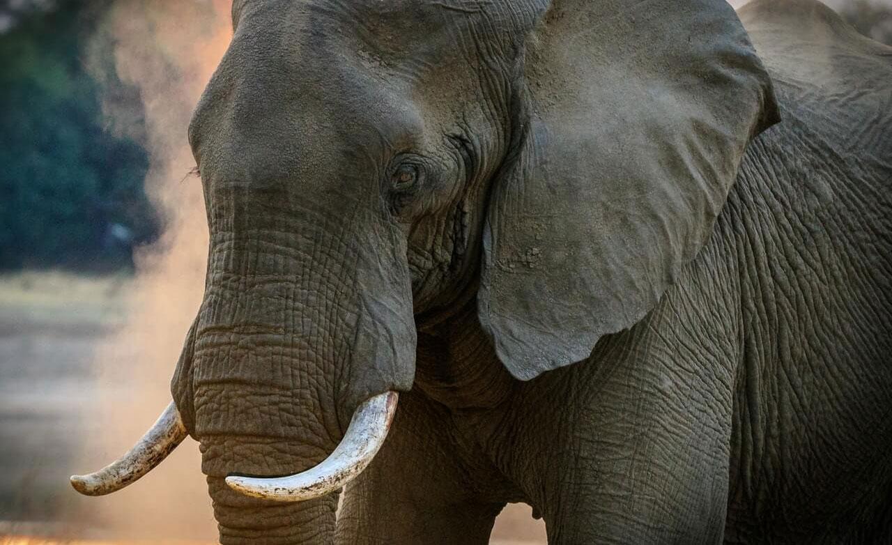 gray-elephant.jpg